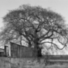 Tree Over Old Steadings